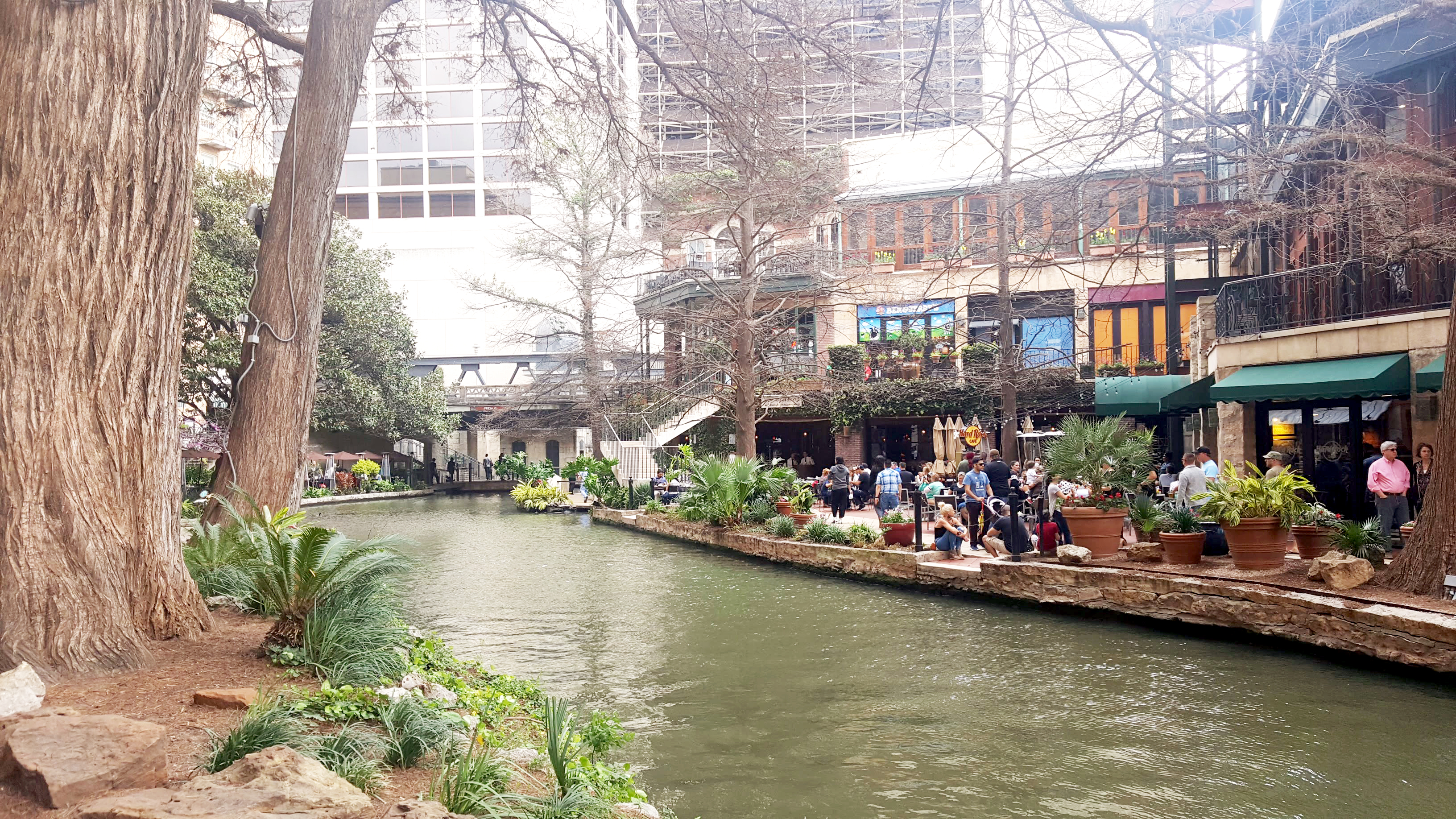 Cypress Trees along the River Walk in San Antonio Texas.