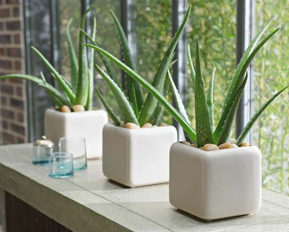 aloe-vera-best-apartment-plants