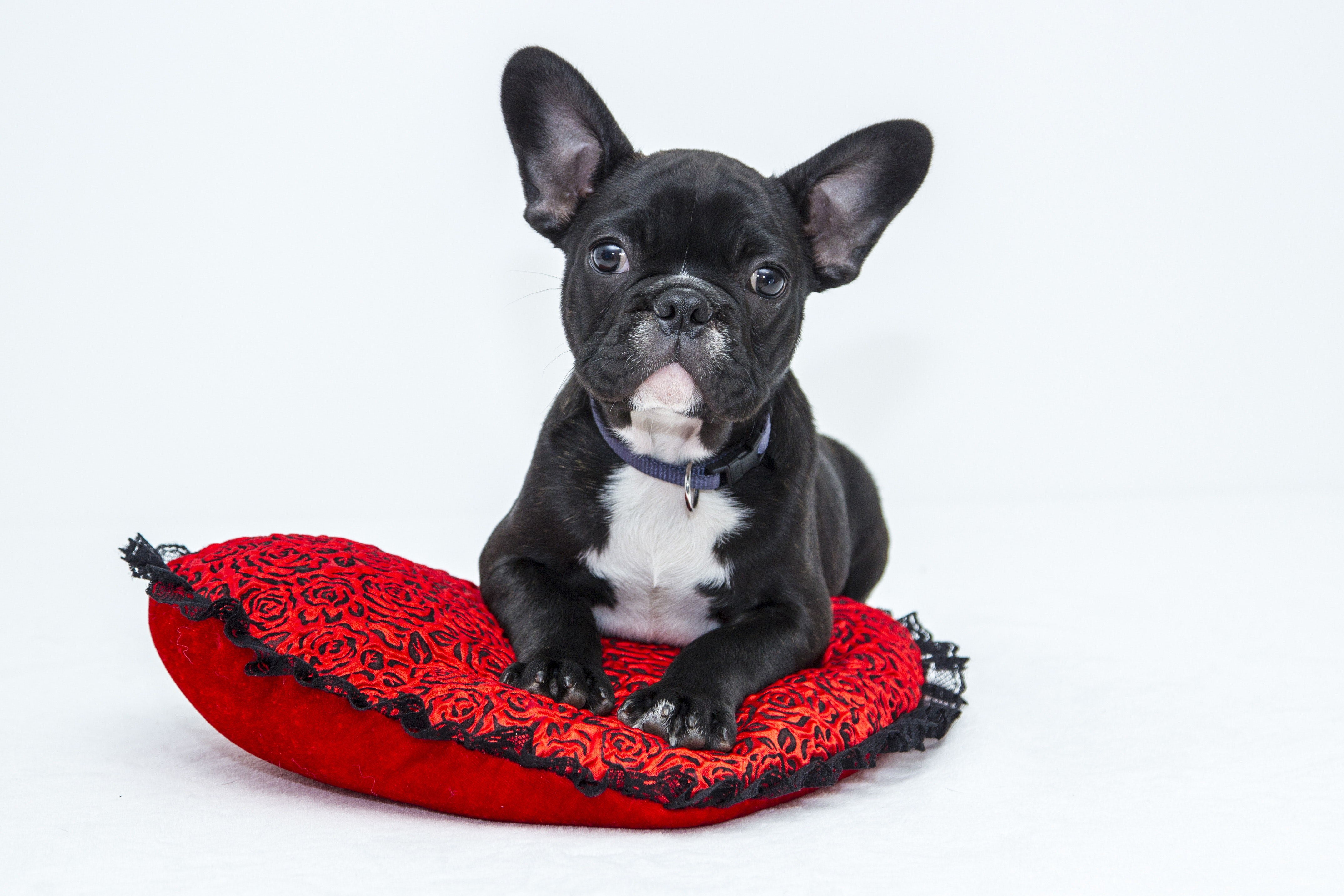 French Bulldog with a heart-shaped pillow