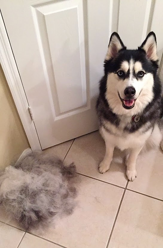Using the FURminator on Aspen