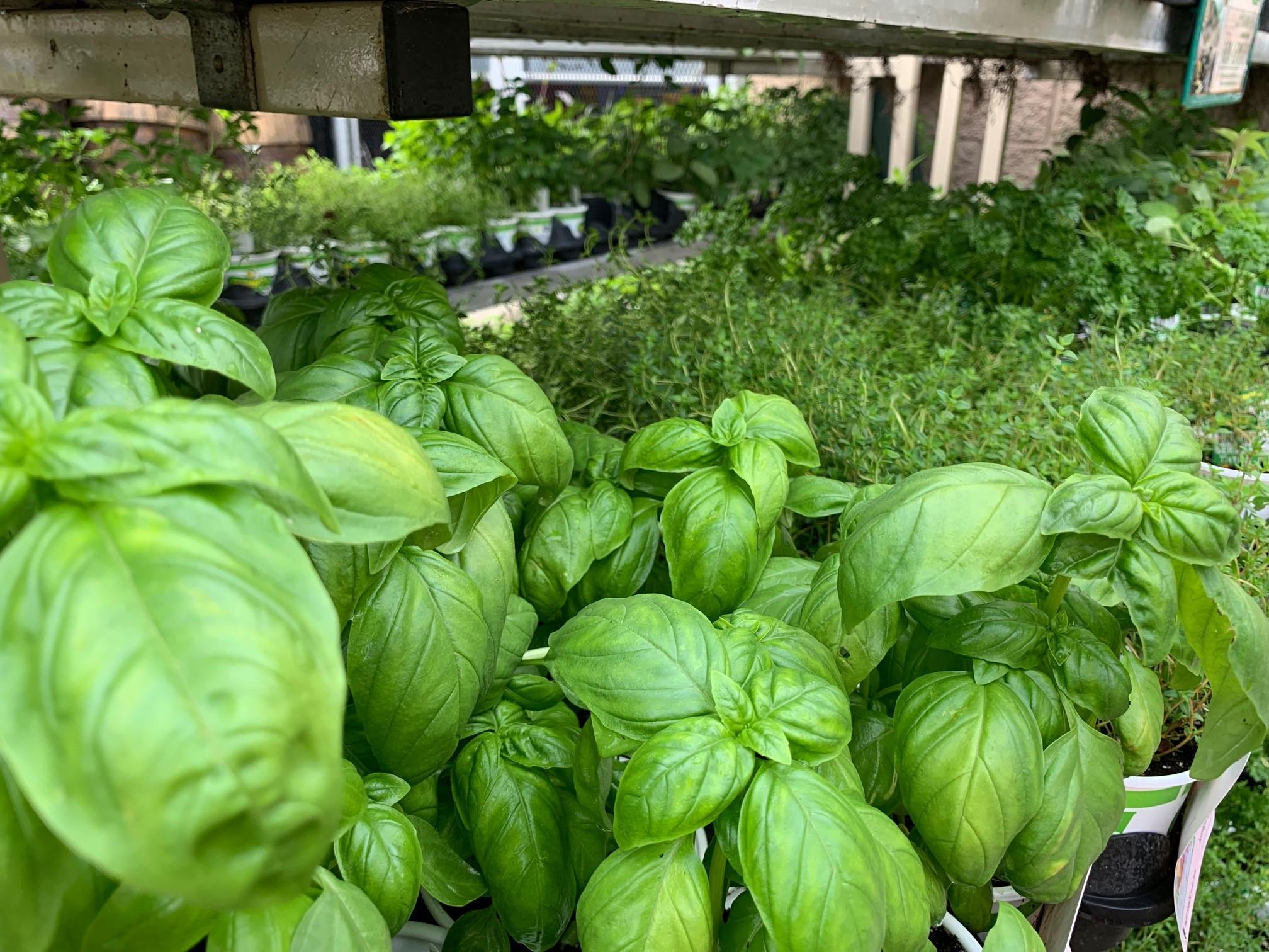 basil-herb-garden-starter-plant.jpg