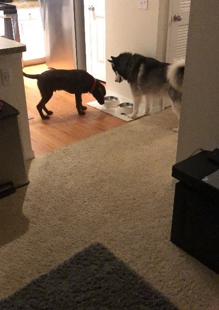 Dogs eating together