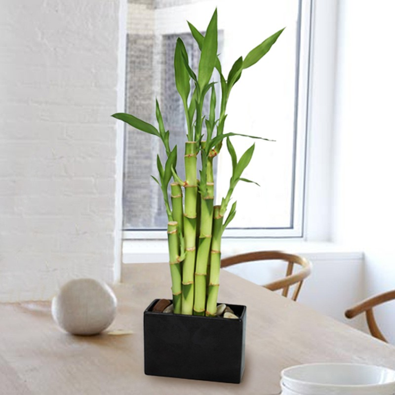 bamboo-best-plants-for-apartment