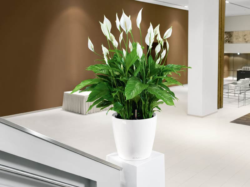 peace-lily-best-apartment-plants