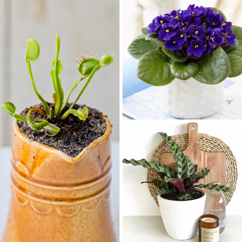 Collage of Venus Fly Trap, African Violet, and Rattlesnake Plant