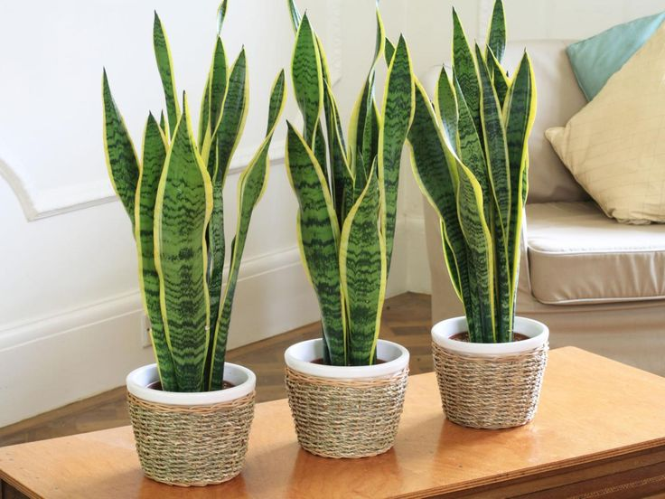 snake-plant-best-apartment-plants