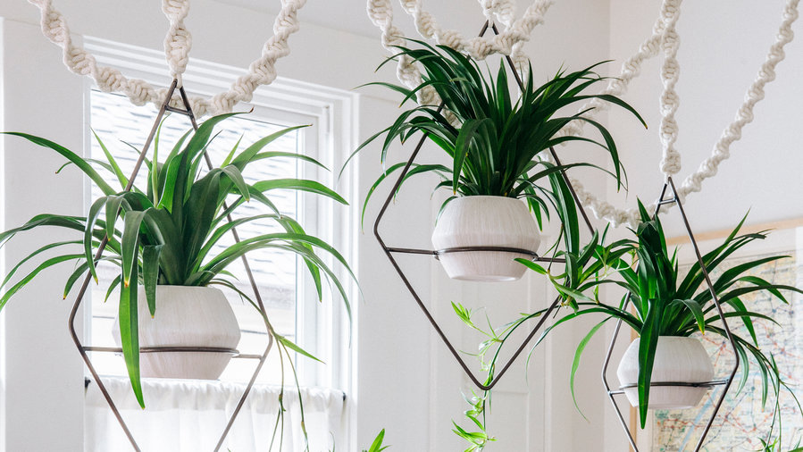 spider-plant-best-apartment-plants