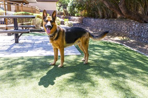 Large Fenced in Dog Park with Grass at Pet Friendly Camden Legacy Apartments in Scottsdale, AZ