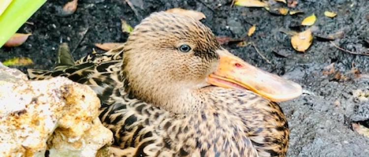 Photo of a Mottle Duck or Mottle Mallard